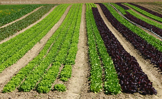 campagne_avril_salades
