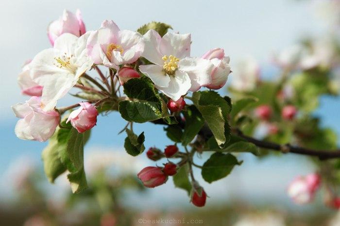 fleurs_pommier_avril1