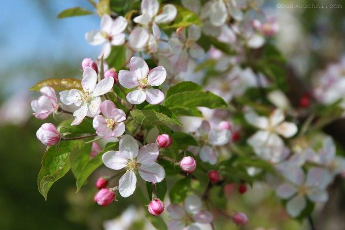 fleurs_pommier_avril2