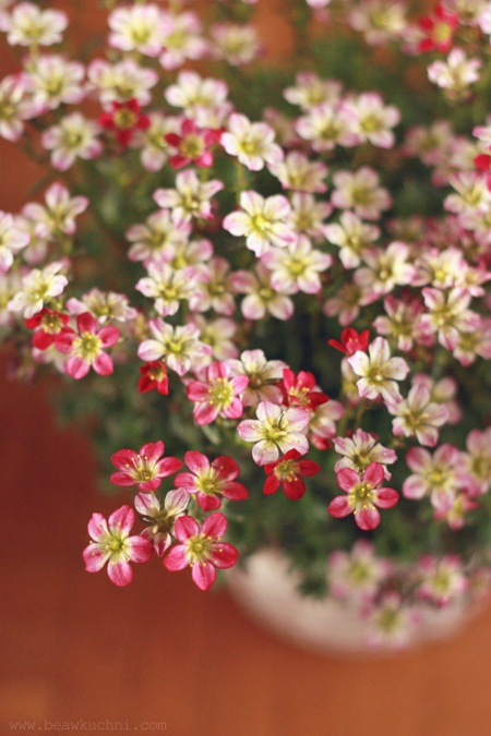 kwiatki_avril_rose