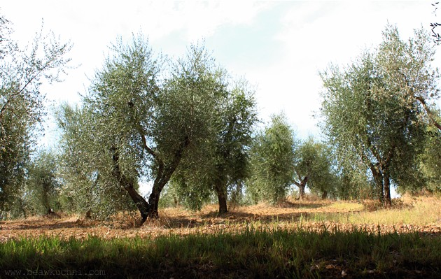 pienza_oliviers