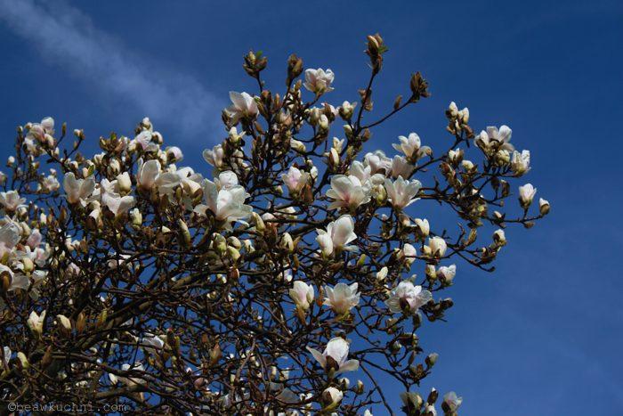 wiosna2014_magnolie