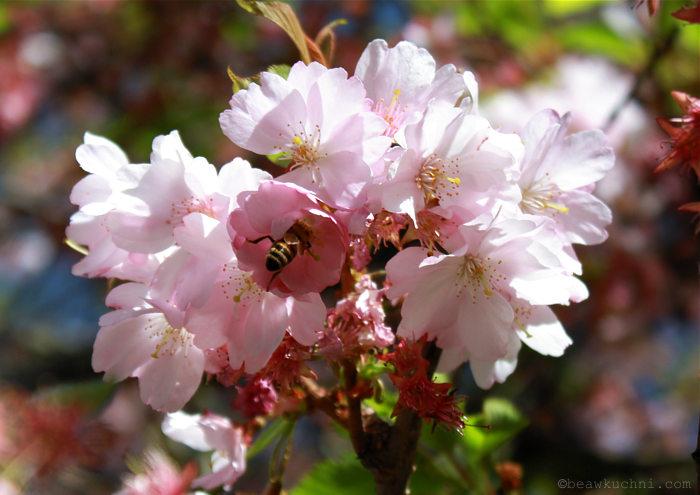 wiosna2015abeille2